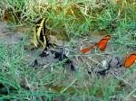 3 Butterflies dt