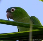 Blue-crowned Parakeet dt