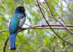 Blue-crowned Trogon, 1dt
