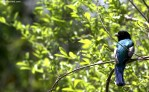 Blue-crowned Trogon, 2dt
