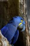 Hyacinth Macaw, 1dt