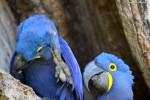Hyacinth Macaw, 2dt