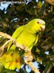 Orange-winged Parrot dt