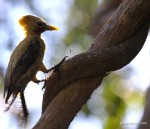 Pale-crested Woodpecker dt