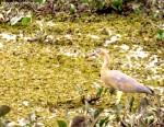 Whistling Heron, dt